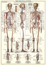 Educational Puzzles - The Skeletal System