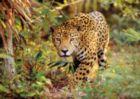 Jaguar - 1500pc Jigsaw Puzzle By Clementoni