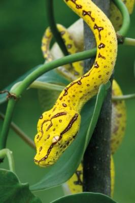 Animal Planet: Green Tree Python - 200pc Jigsaw Puzzle By Ravensburger