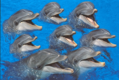 Tomax Jigsaw Puzzles - Bottlenose Dolphins