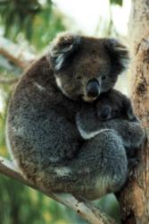 Tomax Jigsaw Puzzles - Koala Bear