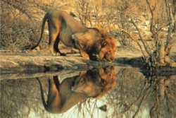 Tomax Jigsaw Puzzles - Male Lion