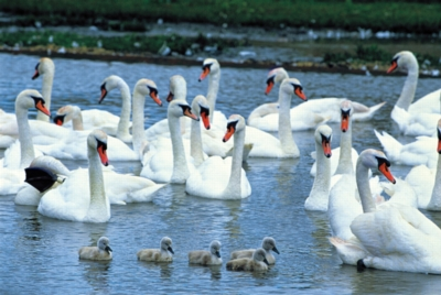 Tomax Jigsaw Puzzles - Swan Family