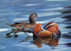 Tomax Jigsaw Puzzles - Mandarin Duck
