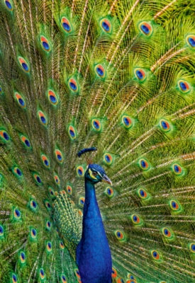 Jigsaw Puzzles - Peacock