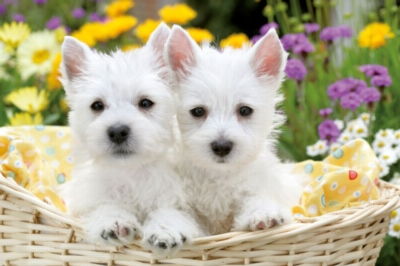 West Highland White Terriers Puzzle
