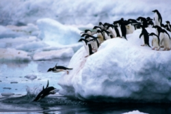 Tomax Jigsaw Puzzles - Penguins