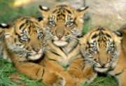 Educa Jigsaw Puzzles - Tiger Cubs