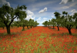 Educa Jigsaw Puzzles - Poppy Field