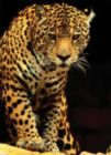 Leopard - 1000pc Jigsaw Puzzle by Eurographics