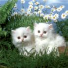 Cute Kittens - 100pc Jigsaw Puzzle by D-Toys