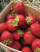 Springbok Basket of Berries Jigsaw Puzzle