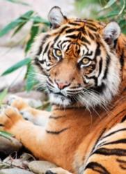 Clementoni Sumatran Tiger Jigsaw Puzzle
