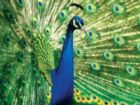 Peacock (Animal Planet) - 300pc EZ Grip Jigsaw Puzzle by Masterpieces