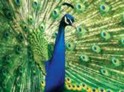 Masterpieces Peacock Jigsaw Puzzle