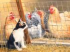 Visit with Hens - 500pc Jigsaw Puzzle by SunsOut