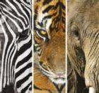 Animals Trittico - 3 x 500pc Jigsaw Puzzle by Clementoni