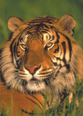 Wildlife: Tiger - 54pc Mini Jigsaw Puzzle by D-Toys