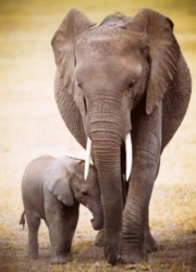 Elephant & Baby - 300pc Large Format Puzzle by Eurographics