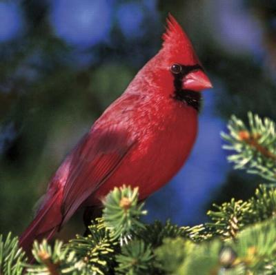 Audubon: Northern Cardinal II - 500pc Jigsaw Puzzle by Buffalo Games