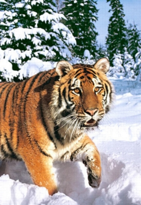 Winter Siberian Tiger - 1000pc Jigsaw Puzzle by Castorland