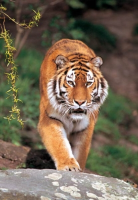 Siberian Tiger - 1500pc Jigsaw Puzzle by Castorland