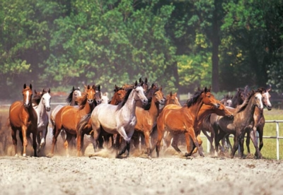 Herd of Horses - 2000pc Jigsaw Puzzle by Castorland