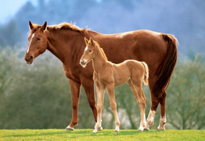 Westfalian Mare with Foal - 500pc Jigsaw Puzzle by Castorland