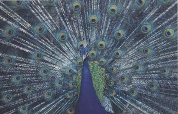 Peacock - 1000pc Tough Jigsaw Puzzle by Piatnik