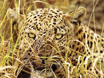Leopard Eyes - 500pc Springbok Jigsaw Puzzle