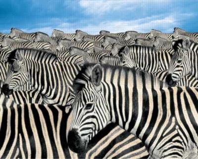 Zebra Herd - 2000pc Jigsaw Puzzle by Springbok