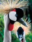 Crowned Cranes - 500pc Jigsaw Puzzle by Springbok