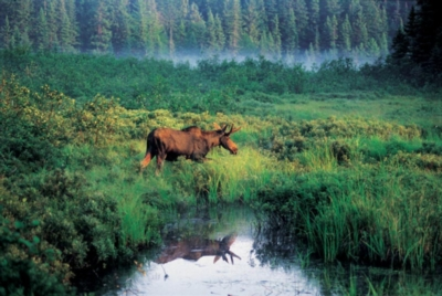 Moose - 1000pc Jigsaw Puzzle by Cobble Hill