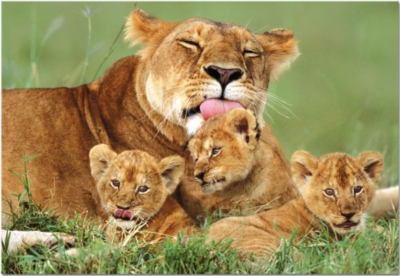 Educa Jigsaw Puzzles - Lioness With Her Cubs