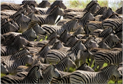 Herd of Zebras - 500pc Impossible Jigsaw Puzzle by EDUCA
