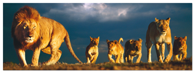 Lions Family - 1000pc Panoramic Jigsaw Puzzle by Educa