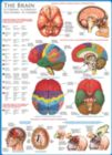 The Brain - 1000pc Educational Jigsaw Puzzle by Eurographics
