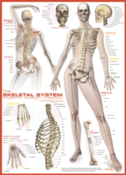 Educational Puzzles - Skeletal System
