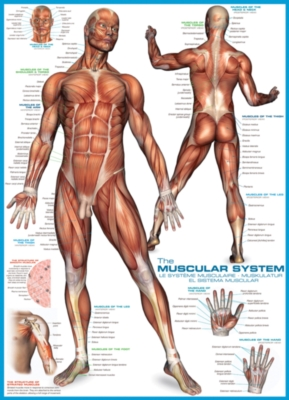 Educational Puzzles - Muscular System