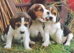Eurographics Jigsaw Puzzles - Puppies