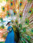 Proud Peacock - 500pc Jigsaw Puzzle by Springbok