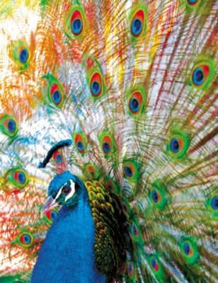 Springbok Jigsaw Puzzles - Proud Peacock