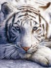 White Tiger Face - 1000pc Jigsaw Puzzle By Sunsout